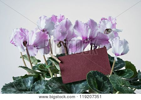 Pink cyclamen bloom and green leaf. Blooming floral pot. Red color greeting delivery card middle of