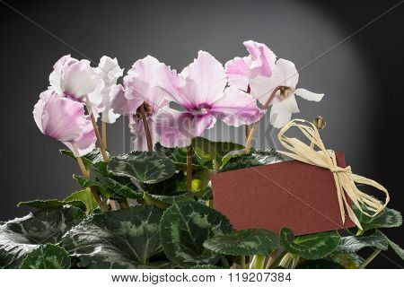 Pink cyclamen bloom and green leaf. Blooming floral pot.