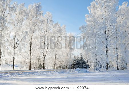 Winter Wonderland Snowcovered Forest Road With Birch Trees On A Sunny Day
