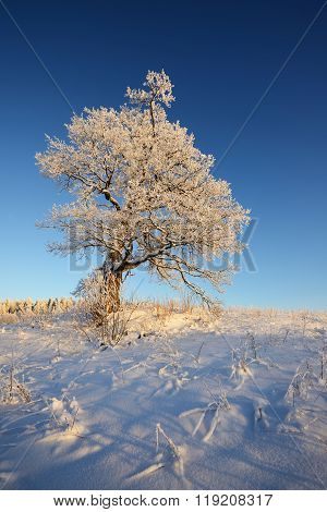 Lonely Oak Tree On A Snowcovered Hill Against Blue Sky