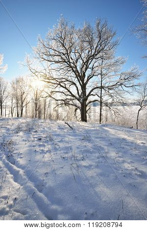 Lonely Oak Tree On A Snowcovered Field Against Blue Sky And Sun