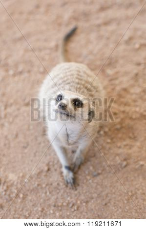 Inquisitive Meerkat in the shade in the Kalahari