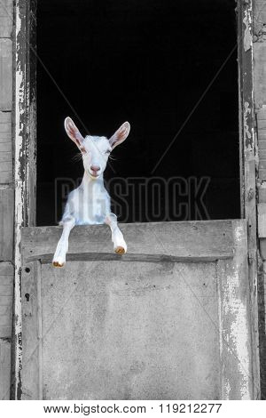 Young White Goat Standing On The Barn Door