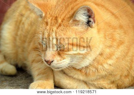 Yellow Male Tabby Cat