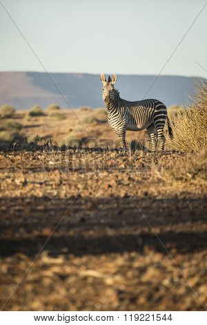 A Zebra in the Palmwag concession of Namibia