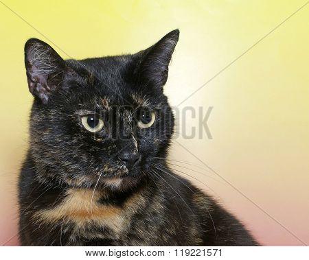 Portrait Of A Black And Orange Tortie Torbie, Or Tortoiseshell Tabby Cat