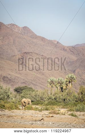 Desert Elephant in the Kunene region of Namibia.