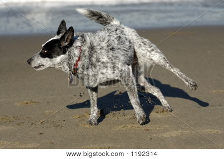 black and white dog frolicks by the san francisco bay california kicking sand into air. poster