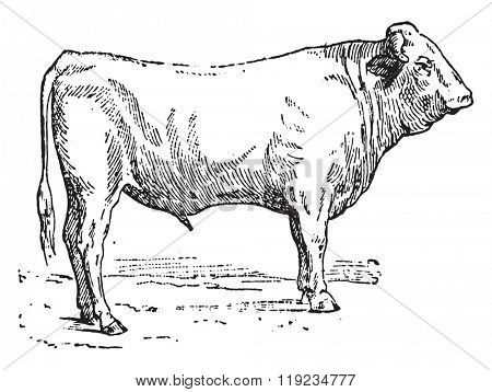 Ox garonnais, vintage engraved illustration. Dictionary of words and things - Larive and Fleury - 1895.