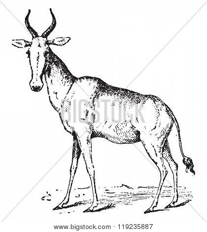 Hartebeest, vintage engraved illustration. Dictionary of words and things - Larive and Fleury - 1895.