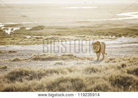 Full grown Lion in Etosha National Park
