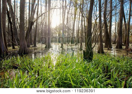 Cypress swamp in northern Florida in early morning