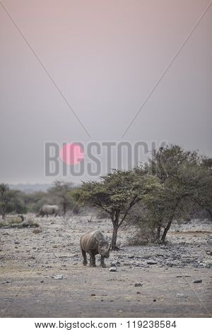 Black Rhino in Etosha National Park, Namibia