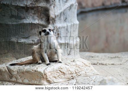 Alert Suricate Or Meerkat