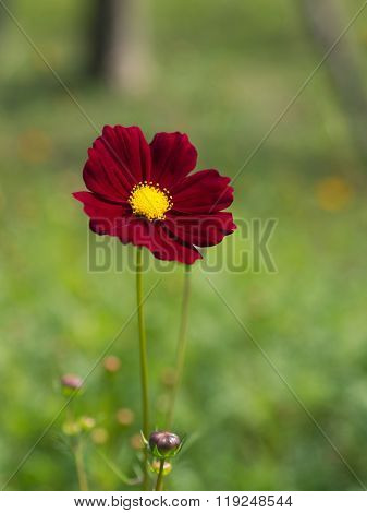 Red cosmos flower in closeup with green background