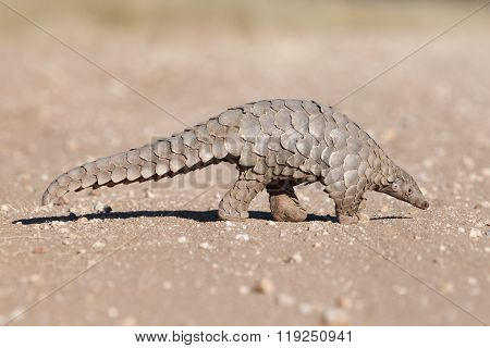 Pangolin walking along a gravel road in Namibia