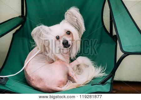 Young White Chinese Crested Dog. Hairless breed of dog