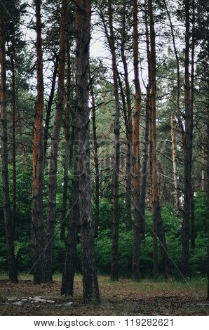 Fairy tale fir tree forest. Pine Forest. A rural road through a