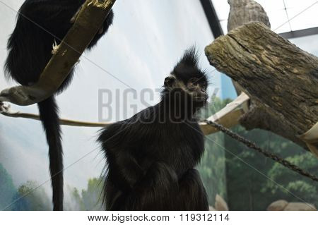 A black spider monkey sitting on a rock