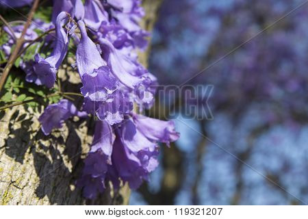 Jacaranda Tree Trunk With Small Flowers And Sky