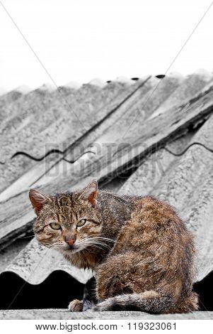 The stray tomcat
