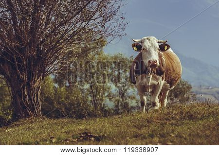 Brown Dutch Breed Cow