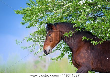 Beautiful bay horse apples standing under a blossoming tree on the background of a stormy sky