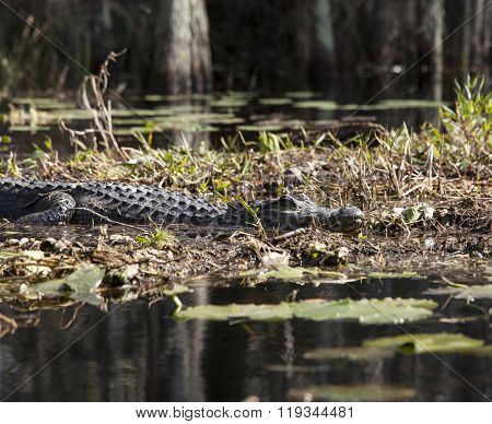 American alligator in natural habitat in the Okefenokee swamp