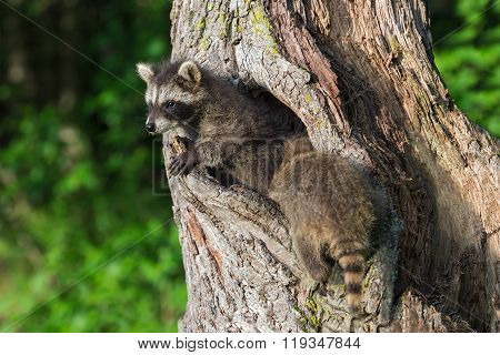 Young Raccoons (procyon Lotor) Crawl In And Out Of Knothole