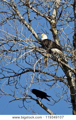 Bald Eagle Perched With A Half Eaten Squirrel While Crow Looks On