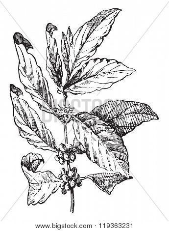 Coffee tree, vintage engraved illustration. Dictionary of words and things - Larive and Fleury - 1895.