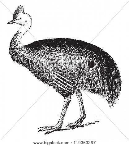 Cassowary, vintage engraved illustration. Dictionary of words and things - Larive and Fleury - 1895.
