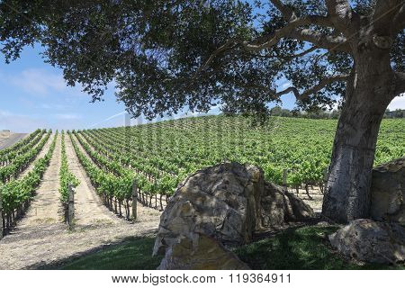 Rows of grape vines at a winery
