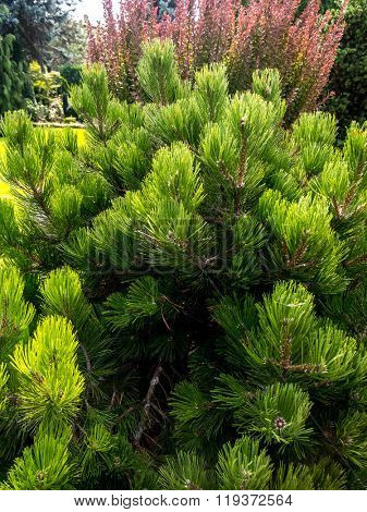 Beautiful golden pine growing in the House garden