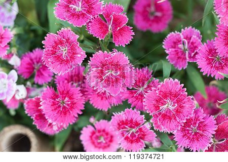 Beautiful Pink Flower In Garden
