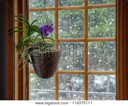 Orchid In Winter Window