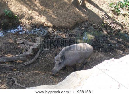 wild boar in zoo