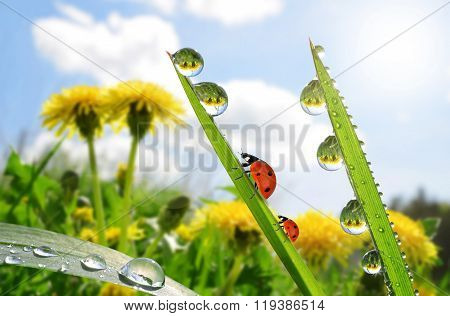 Fresh green grass with dew drops and ladybugs.