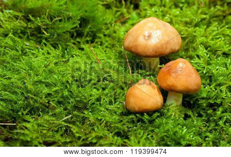 Group Of Fresh Mushrooms In Forest