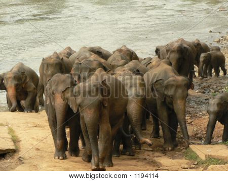 A Bunch Of Elephants Coming Out Of The River After Having A Bath