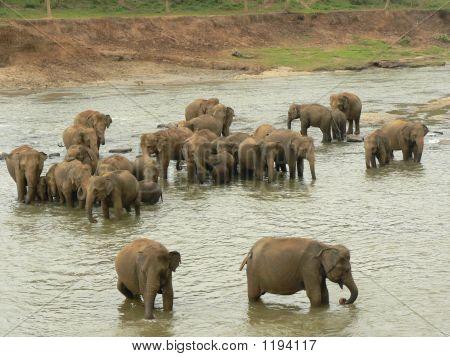 Bathing Elphants