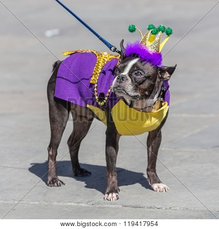New Orleans, La/usa - Circa February 2016: Cute Dog Dressed Up In Costume For Mardi Gras In New Orle