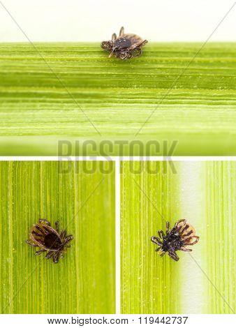 Ticks On Grass