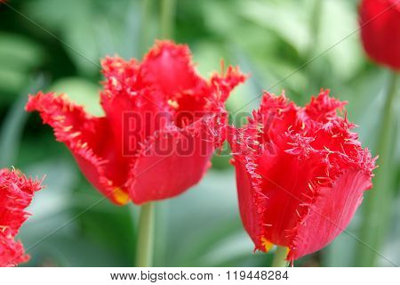Terry Fringed Red Tulips On Blured Background