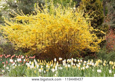 Tulips In Front Of Spectacular Yellow Forsythia