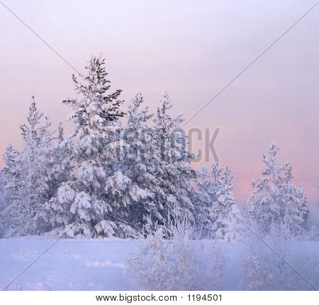 Snow-Bound Fir-Tree