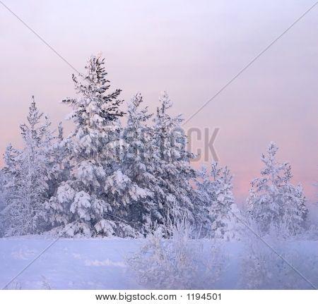 Schnee gebunden Tanne