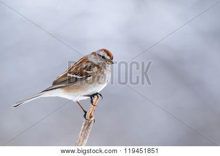American Tree Sparrow, Spizella Arborea