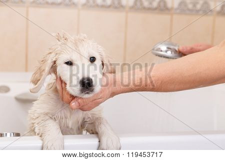 golden retriever puppy in shower