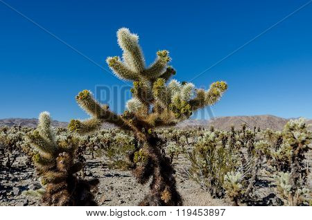 Top Of Cholla Cactus On Blue Sky